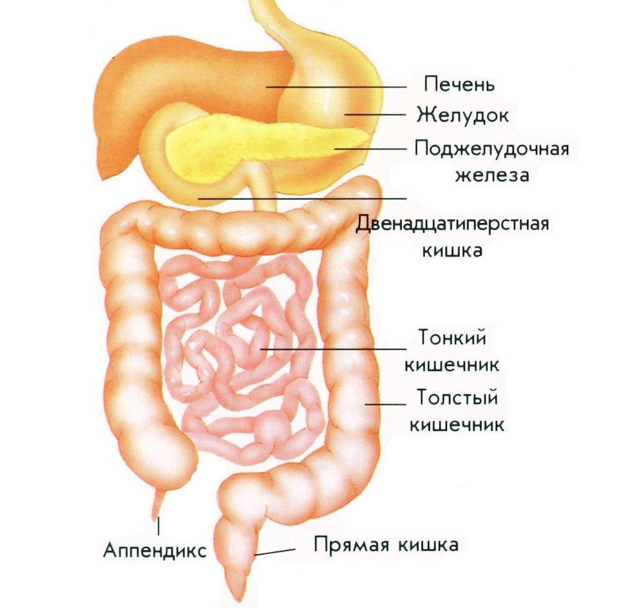 Схема расположения органов жкт