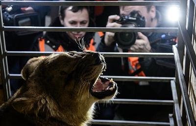 Спасенная наЮжном Урале львица Лола улетела всафари-парк «Тайган» вКрыму