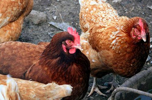 Россия запретила поставки живой птицы изФинляндии