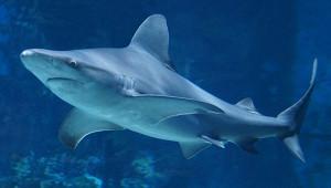 Биологи нашли самую большую светящуюся акулу