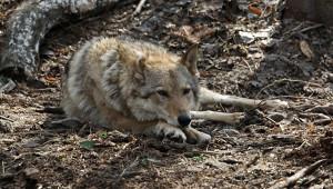 ВПодмосковье поймали волка, несколько дней бродившего поулицам