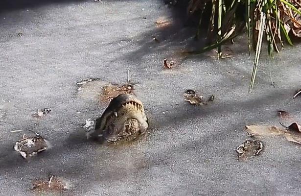 ВСШАаллигаторы вмерзли влед