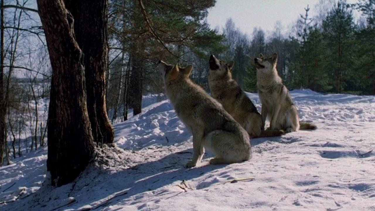 Весьегонская волчица смотреть фото