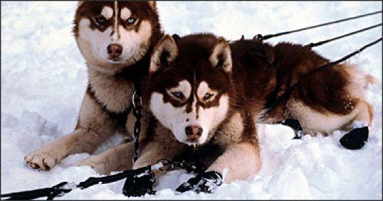 Снежные псы (Snow Dogs)