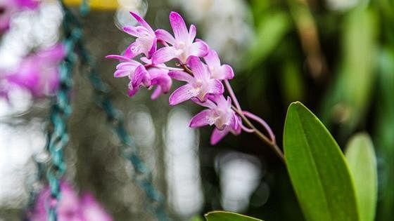 Выставка цветущих азалий