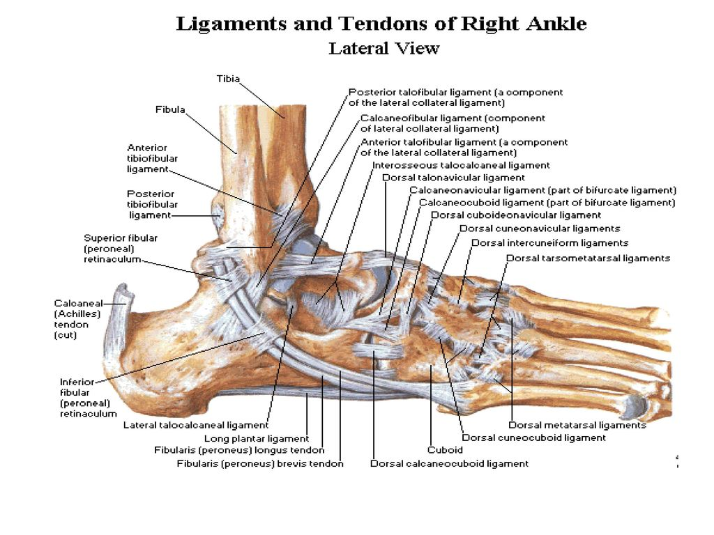 Anatomy of the ankle ligaments a pictorial essay