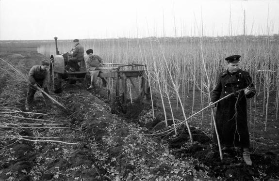 Почему вСССР повсеместно высаживали тополя