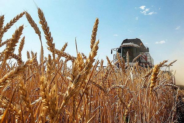 Эксперты спрогнозировали снижение урожая пшеницы вРоссии