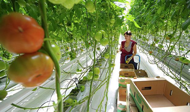 ВКаширском районе собрали втеплицах 3,5тонн помидоров